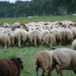 Herdersarrangement